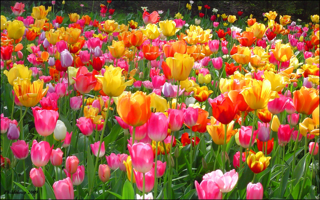 flowers-wallpapers-tulips-wallpaper-wallpaper-36529